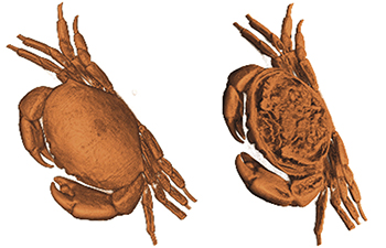 Fig. 5 - A crab showing the inner organs within the shell.